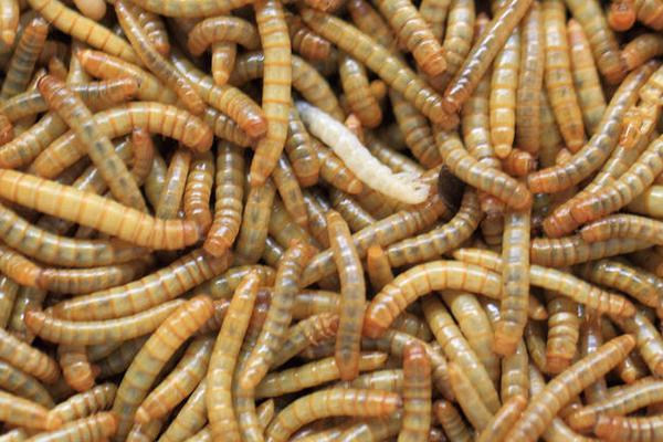 mealworm for making fish powder