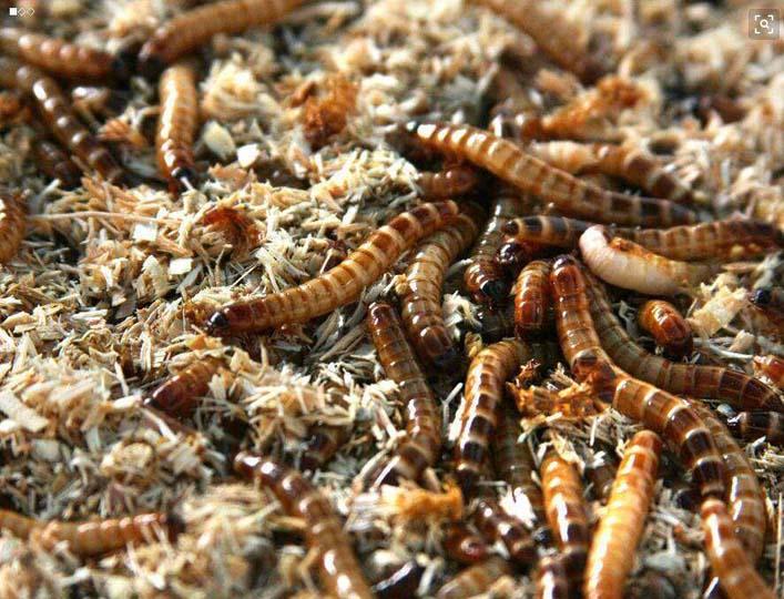 mealworm breeding